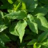 Egopode plante comestible