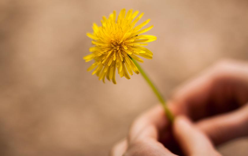 Cueillette #5 : Le pissenlit plante sauvage médicinale et comestible