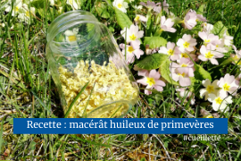 Macérat huileux de primevères plante médicinale